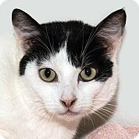 Adopt A Pet :: Sugar - Prescott, AZ