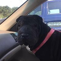Adopt A Pet :: Meme - Newport, VT
