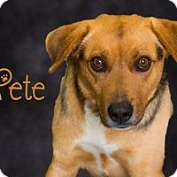 Adopt A Pet :: Pete - Somerset, PA