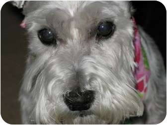 Miniature Schnauzer Dog for adoption in Philadelphia, Pennsylvania - Watson