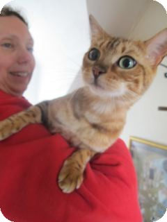Bengal Cat for adoption in Davis, California - Niobe