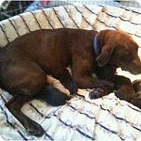 Adopt A Pet :: GODIVA - La Mesa, CA