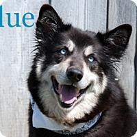 Adopt A Pet :: Blue - Hamilton, MT