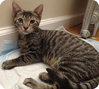 Domestic Shorthair Cat for adoption in New York, New York - Lyon
