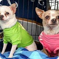 Adopt A Pet :: Navi and Mimo, bonded Chihuahuas - Willingboro, NJ