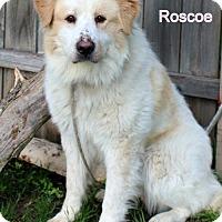 Adopt A Pet :: Roscoe - Needs Foster - Bloomington, MN