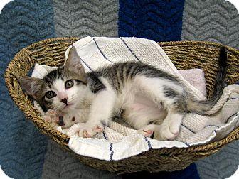 Domestic Shorthair Kitten for adoption in Redwood Falls, Minnesota - Sturgis
