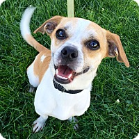 Jack Russell Terrier/Chihuahua Mix Dog for adoption in Wilmington, Delaware - Turbo