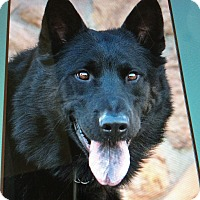 German Shepherd Dog Mix Dog for adoption in Los Angeles, California - BEAU VON BENEDIKT
