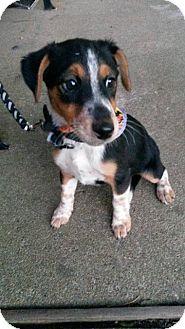 Fox Terrier (Smooth)/Australian Shepherd Mix Puppy for adoption in Aurora, Colorado - Page