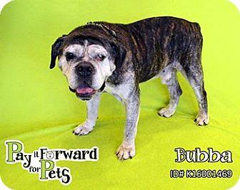 American Bulldog/English Bulldog Mix Dog for adoption in Sharon Center, Ohio - Gander