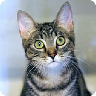 Domestic Shorthair Cat for adoption in Pacific Grove, California - Mamie
