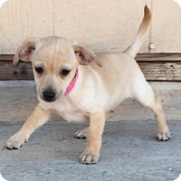 Chihuahua Mix Puppy for adoption in Tucson, Arizona - Simone's pup Farah