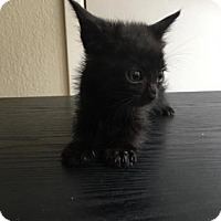 Domestic Shorthair Kitten for adoption in Austin, Texas - Lacy