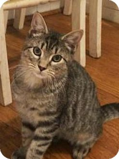 Domestic Shorthair Cat for adoption in Manchester, Connecticut - Frodo