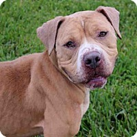 American Pit Bull Terrier Mix Dog for adoption in West Palm Beach, Florida - ZACK