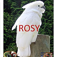 Adopt A Pet :: ROSEY The Umbrella Cockatoo - Vancouver, WA