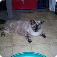 Siamese Cat for adoption in Whittier, California - Mew mew