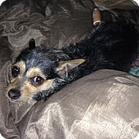 Adopt A Pet :: Stitch - San Francisco, CA