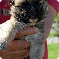 Adopt A Pet :: GOLIATH - Torrance, CA