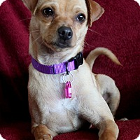 Adopt A Pet :: Maci - Wichita, KS