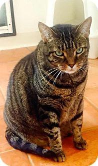 Domestic Shorthair Cat for adoption in Sebastian, Florida - Bonnie