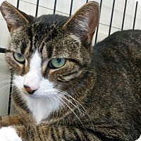 Domestic Shorthair Cat for adoption in Berkeley Hts, New Jersey - Liam