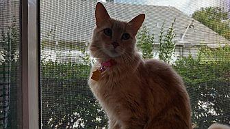 Domestic Mediumhair Cat for adoption in Pasadena, California - Ginger