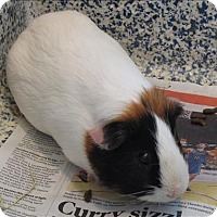 Guinea Pig for adoption in Golden, Colorado - Lori