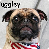 Adopt A Pet :: Puggley - Warren, PA