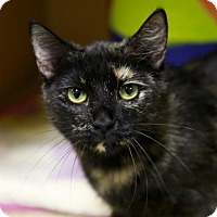Domestic Shorthair Cat for adoption in Kettering, Ohio - Elli