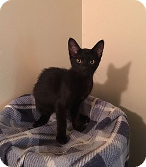 Domestic Shorthair Kitten for adoption in Davison, Michigan - Sweet William