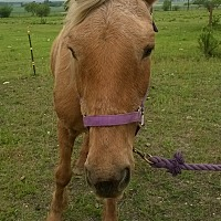 Quarterhorse Mix for adoption in Hitchcock, Texas - Ivy