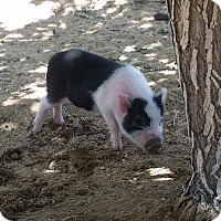 Pig (Potbellied) for adoption in Yucca Valley, California - Herbie the Love Pig