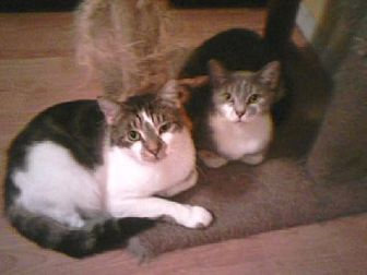 Domestic Shorthair Cat for adoption in Satellite Beach, Florida - Antoinette