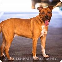Adopt A Pet :: Chief - Breinigsville, PA