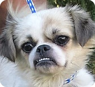 Pekingese/Spaniel (Unknown Type) Mix Dog for adoption in Germantown, Maryland - Carlie