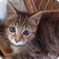 Domestic Shorthair Kitten for adoption in Evans, West Virginia - Halo