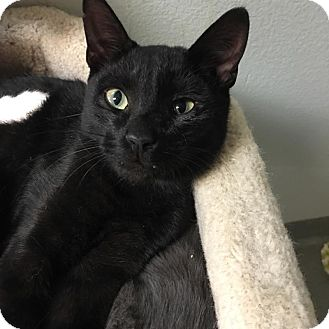 Domestic Shorthair Kitten for adoption in Westminster, California - Nimbus
