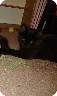 Domestic Mediumhair Kitten for adoption in Alamo, California - Midnight
