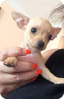 Chihuahua Puppy for adoption in Davie, Florida - Flip