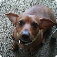 Dachshund Dog for adoption in Portland, Oregon - DANTE