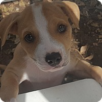 American Staffordshire Terrier Mix Puppy for adoption in Las Cruces, New Mexico - Miley