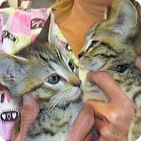 Bengal Kitten for adoption in Germantown, Maryland - Denton & Deaton