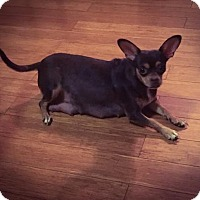 Chihuahua Dog for adoption in Von Ormy, Texas - Coco Puff
