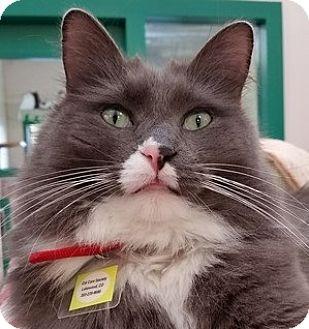 Domestic Mediumhair Cat for adoption in Lakewood, Colorado - Hubble
