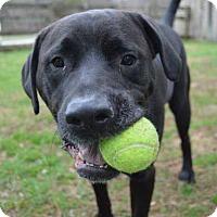 Adopt A Pet :: Moose - Mebane, NC