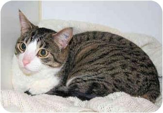 Domestic Shorthair Cat for adoption in Edmonton, Alberta - Jax