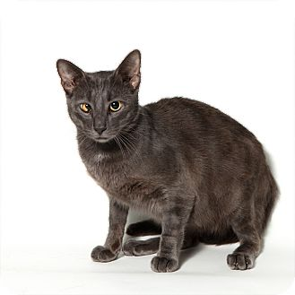 Domestic Shorthair Cat for adoption in Rockaway, New Jersey - Colt
