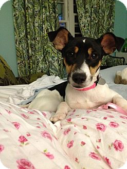 Jack Russell Terrier/Parson Russell Terrier Mix Dog for adoption in Homewood, Alabama - Candie